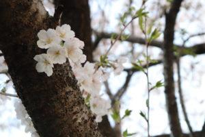 少し遠出して桜を眺めに行ってきました。